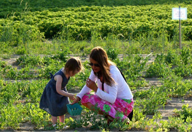 picking peas with mom