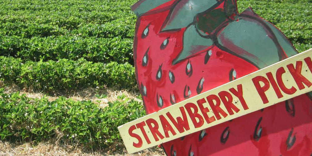 strawberr picken