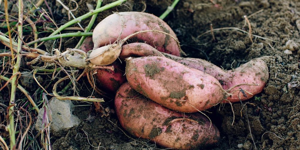 DIG YOUR OWN SWEET POTATOES